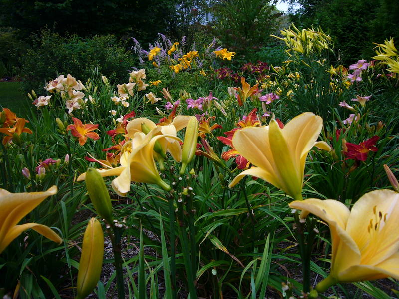 Daylily Bed